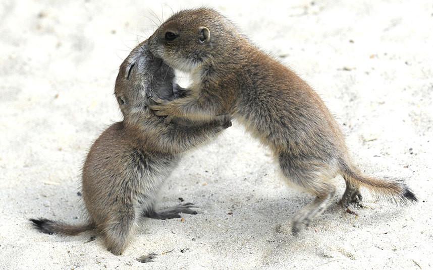 Поцелуйчики. Луговые собачки в Ганноверском зоопарке в Германии. животные, жизнь, позитив, эмоции