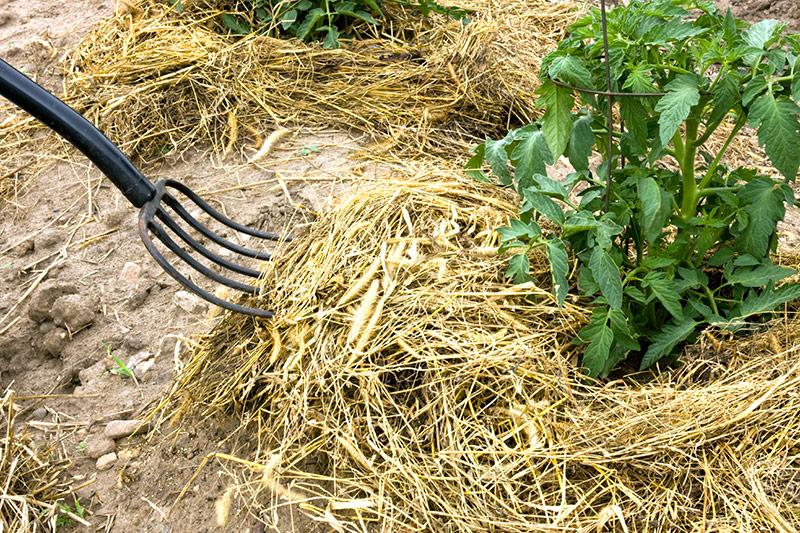Hay вилка мульчирования растений томата - Стоковое фото dcwcreations #11315624