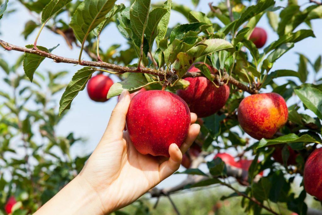Спелые яблоки нужно срывать аккуратно