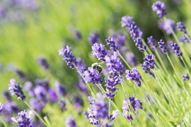 Царица аромата: как вырастить лаванду в средней полосе