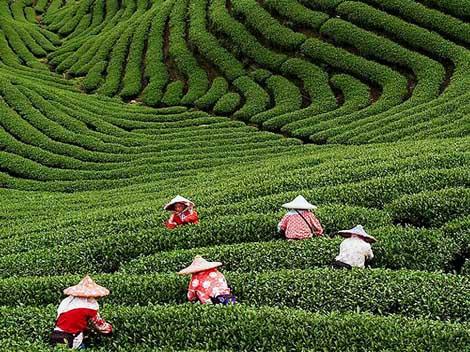 О чае и чаепитии