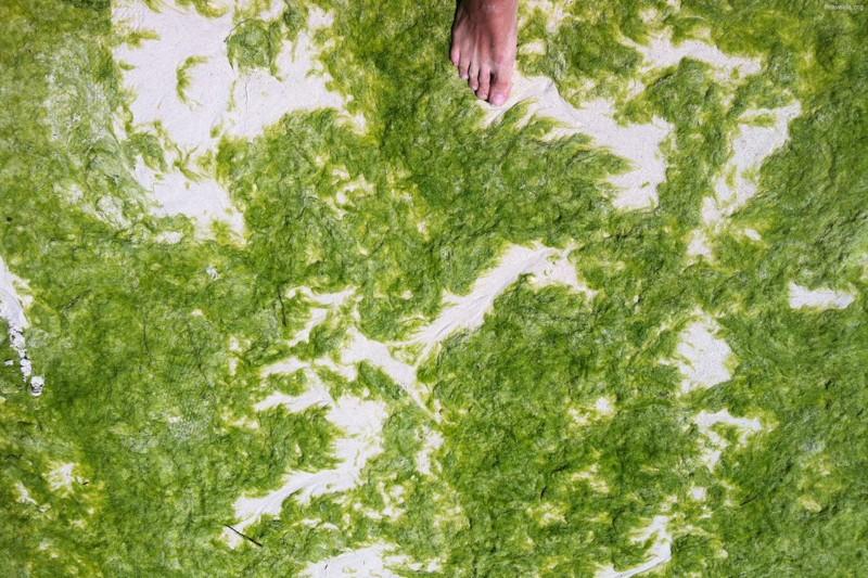 Зеленые водоросли атакуют Китай водоросли, китай, пляж