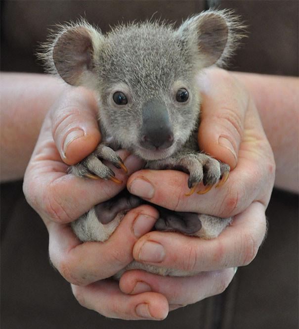 9. Маленькая коала детеныши, животные, милота