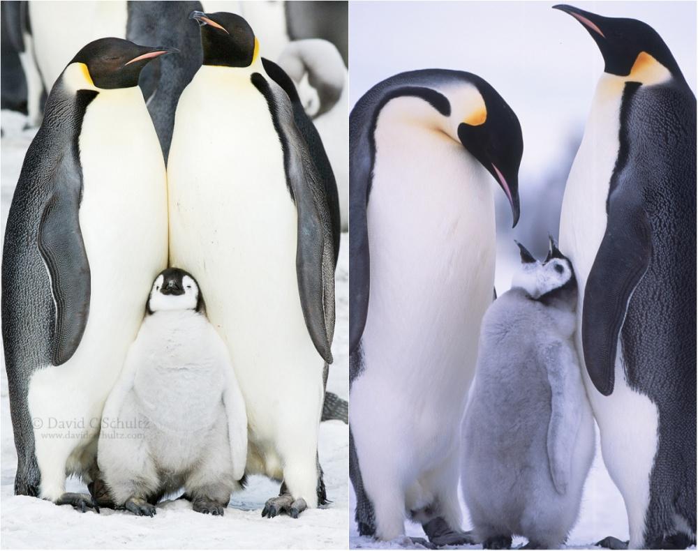 Пингвины — это ласточки, которые ели после шести