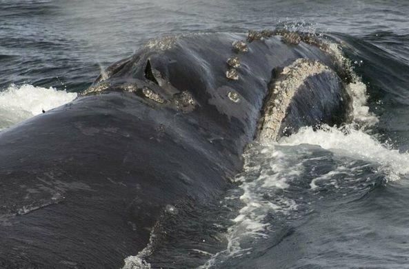 Ученые впервые записали пение редкого японского кита