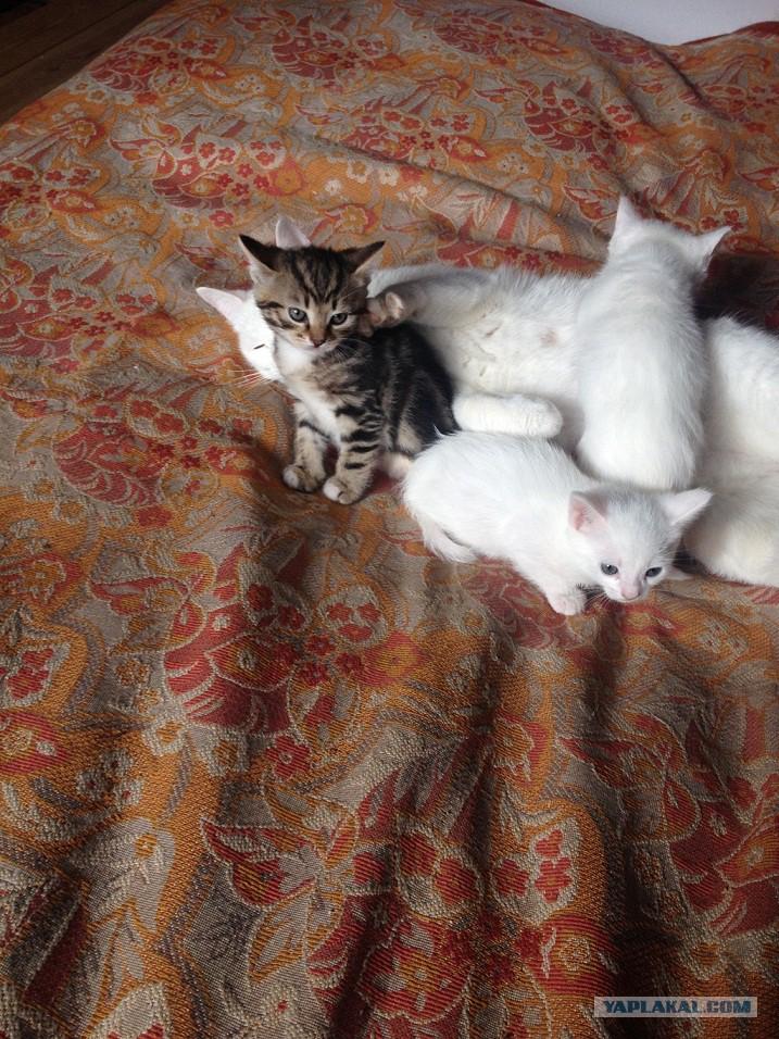 Белоснежная красавица ищет дом. История кошки и её котят. Владимирская область
