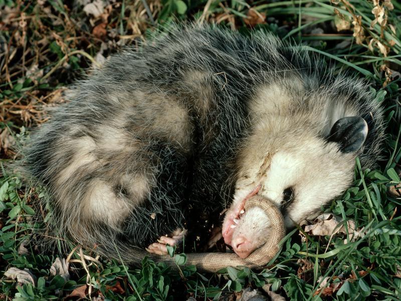 минут) жинсий засыпает при опасности животное была