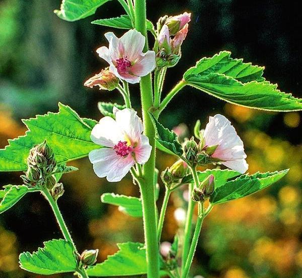 Алтей лекарственный (Althaea officinalis)