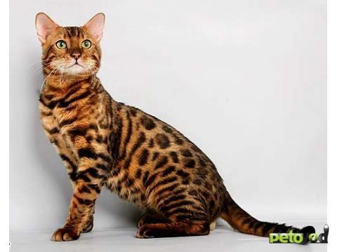 Бенгальская кошка