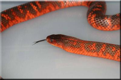 ЗМЕИ.Семейство Аспидовые змеи.Змея Коллетта