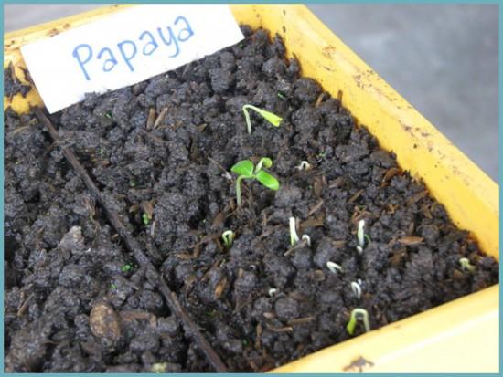 Папайя из семян выращивание 33