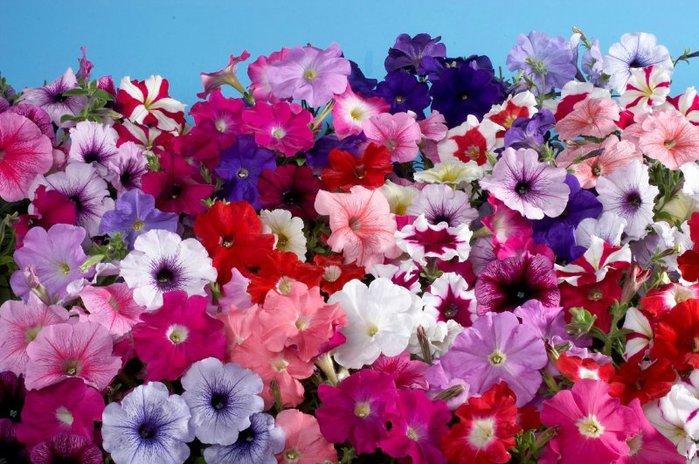 """Семена цветов, деревьев, кустарников, пальм, комнатных растений - Петуния гибридная многоцветковая F1 """"Celebrity"""""""