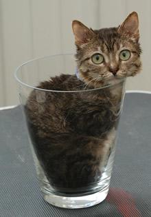 Mr. Peebles - самый маленький кот в мире