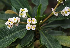 Молочай ребристый, или гребенчатый (Euphorbia lophogona)