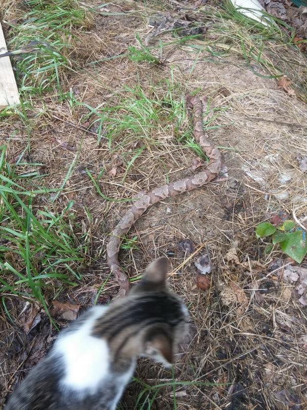 Котейка-добытчик принес деликатеc добыча, змея, кот