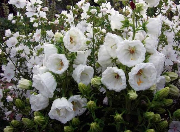 Махровые колокольчики - яркое украшение вашего сада