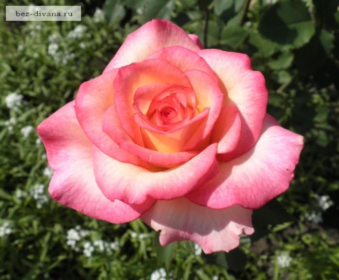 3 секрета летней обрезки роз