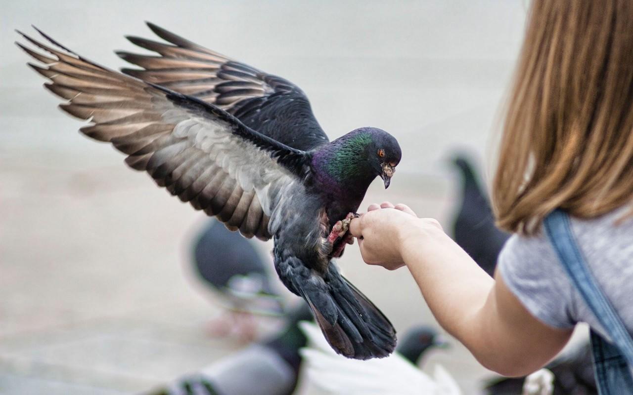 Орнитоз - будьте осторожнее с голубями