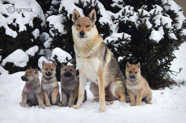 9. Чехословацкий влчак (чехословацкая волчья собака) Порода, собака