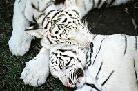 Белые тигры 29