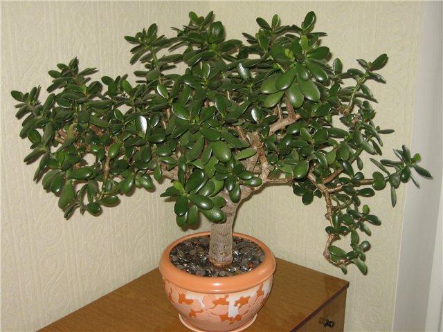 Как денежное дерево можно использовать в медицине?