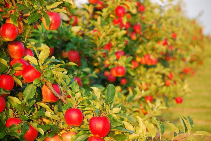 Плодовый сад на приусадебном участке Истории из жизни