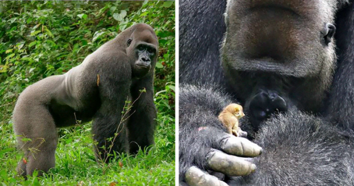 24-летний самец гориллы наше…