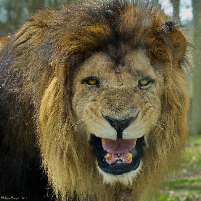 Удивительная история о том, как три льва спасли девочку от похищения!