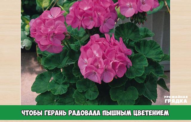 Чтобы герань радовала пышным цветением.