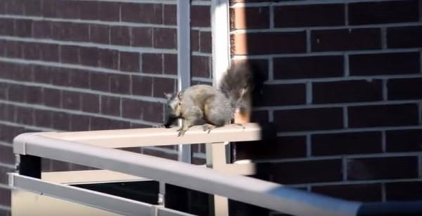 Белка спрыгивает с 21-го этажа (видео)