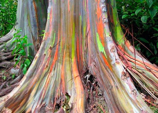 Самые уникальные деревья в природе (13 фото)