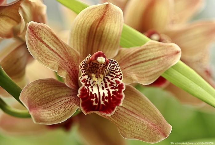 5230261_orhideya11 (700x473, 232Kb)