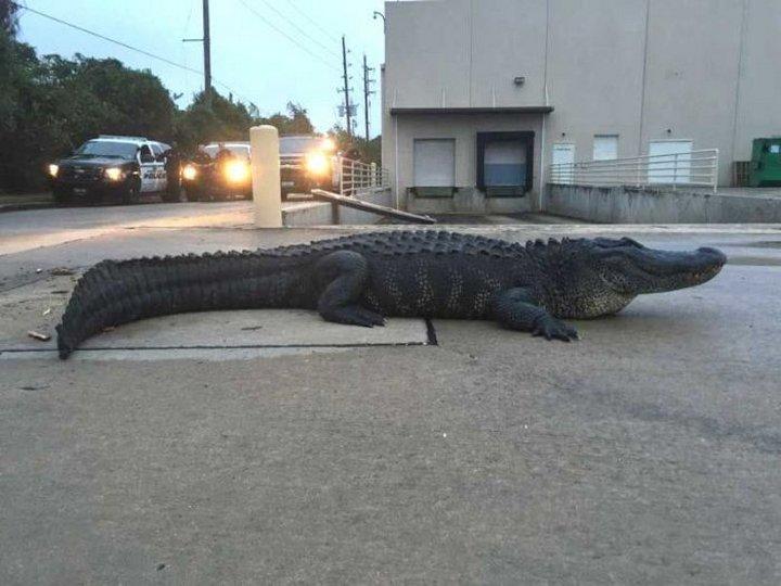 По улицам ходила большая крокодила…