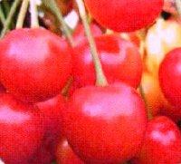 сорт черешни брянская розовая