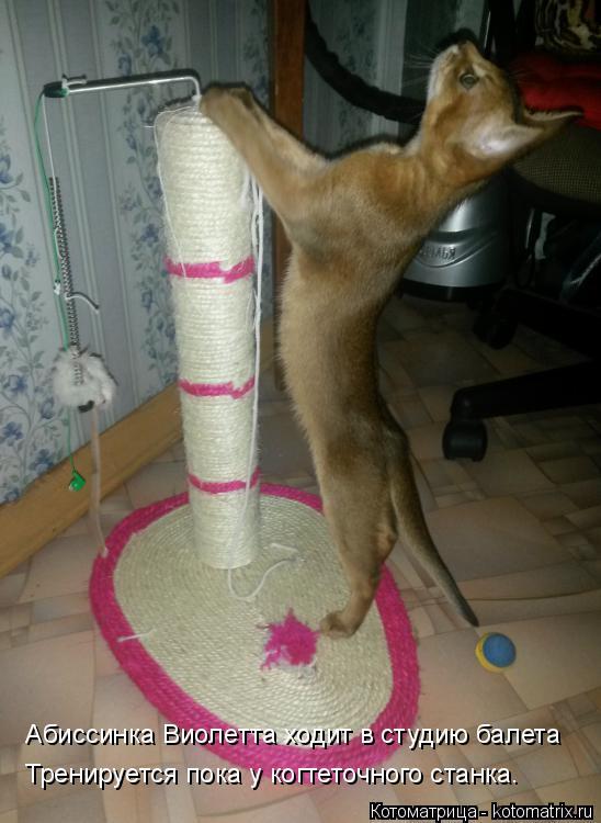 Котоматрица: Абиссинка Виолетта ходит в студию балета Тренируется пока у когтеточного станка.
