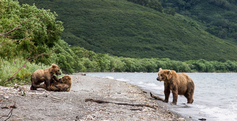 Опасные встречи: медведи рядом