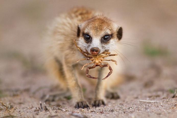Молодой сурикат поймал скорпиона. Сначала старшие собраться показывают молодняку, как одолеть опасное насекомое, после чего те отправляются на охоту