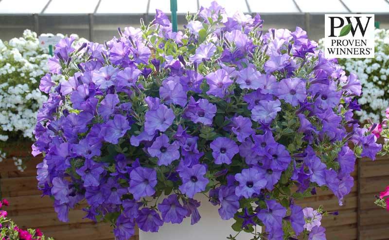 петуния 2012, часть 5 - Все о комнатных растениях на flowersweb.info