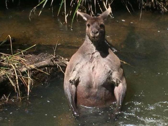 Это самый мускулистый кенгуру, которого многие когда-либо видели