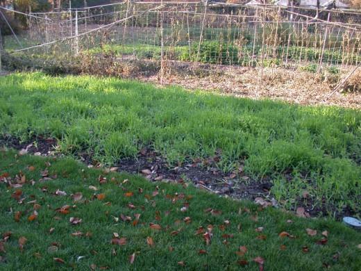 Какие сидераты сеять осенью?