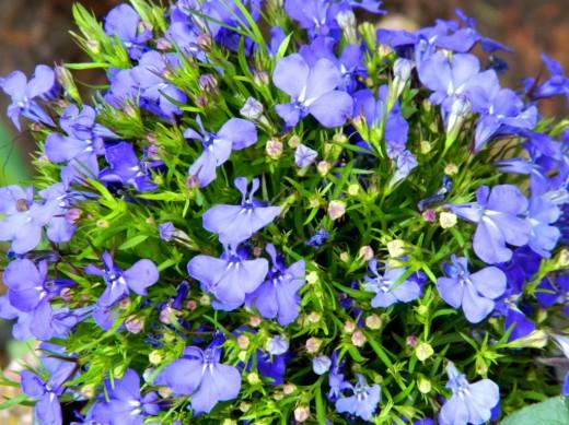 Лобелия эринус, Лобелия длинночерешковая, лобелия садовая