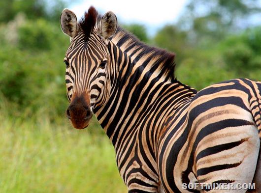 Зачем зебрам нужны полоски