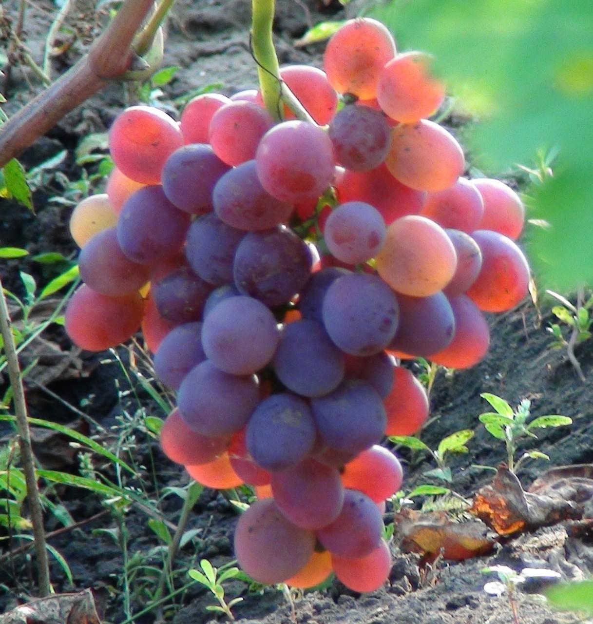 МИР РАСТЕНИЙ. Виноград. Легенды, мифы, предания (4)
