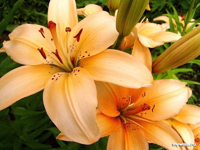 Размножим лилии по-быстрому