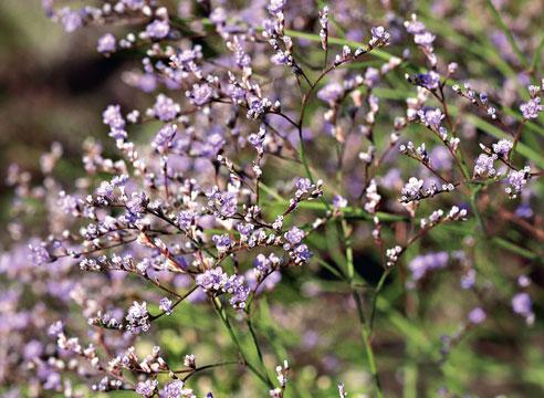 Растения-долгожители для вашего сада