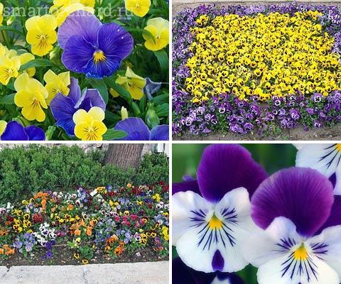 Анютины глазки очень красивые цветы