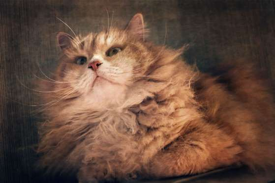 Siberian, long hair, male cat and its long whiskers.