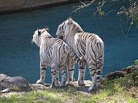 Белые тигры 35
