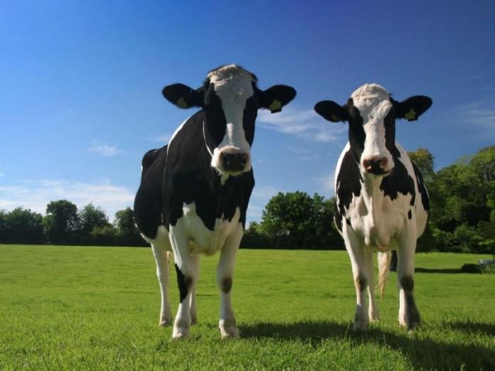 Политические режимы на примере коров