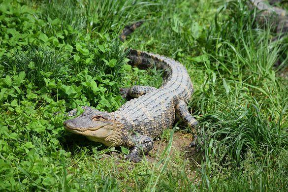 Крокодил спрятался на кухне жителя деревни в Индии